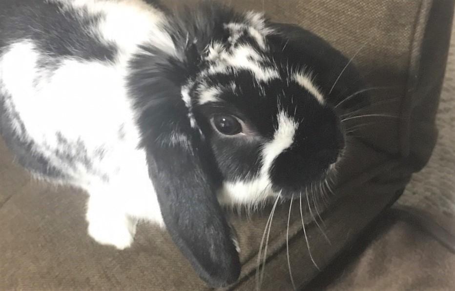 ダッチ(パンダウサギ)
